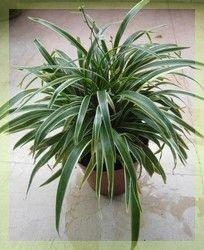 naturo chlorophytum
