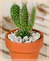 naturo cactus cierge