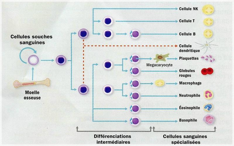 naturo globules blancs1