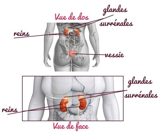 naturo glandes surrénales 1