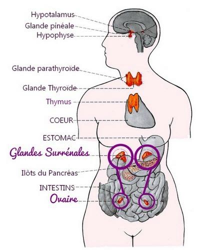 naturo glandes surrenales ovaires2